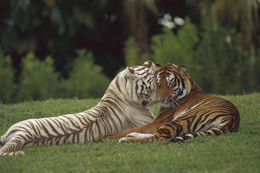 Bengal Tiger Panthera Tigris Tigris Photograph