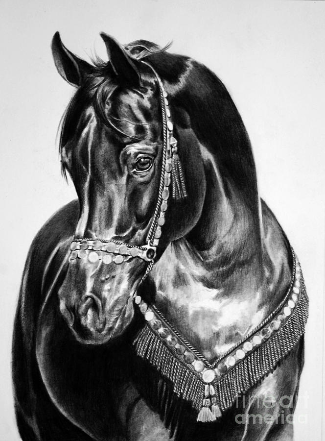 Black Beauty Drawing  - Black Beauty Fine Art Print