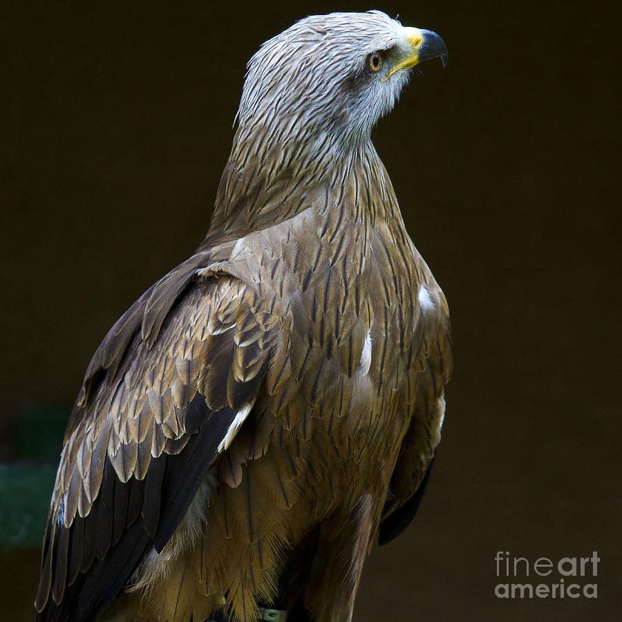 Black Kite 1 Photograph