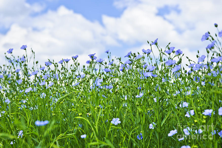 Blooming Flax Field Photograph  - Blooming Flax Field Fine Art Print