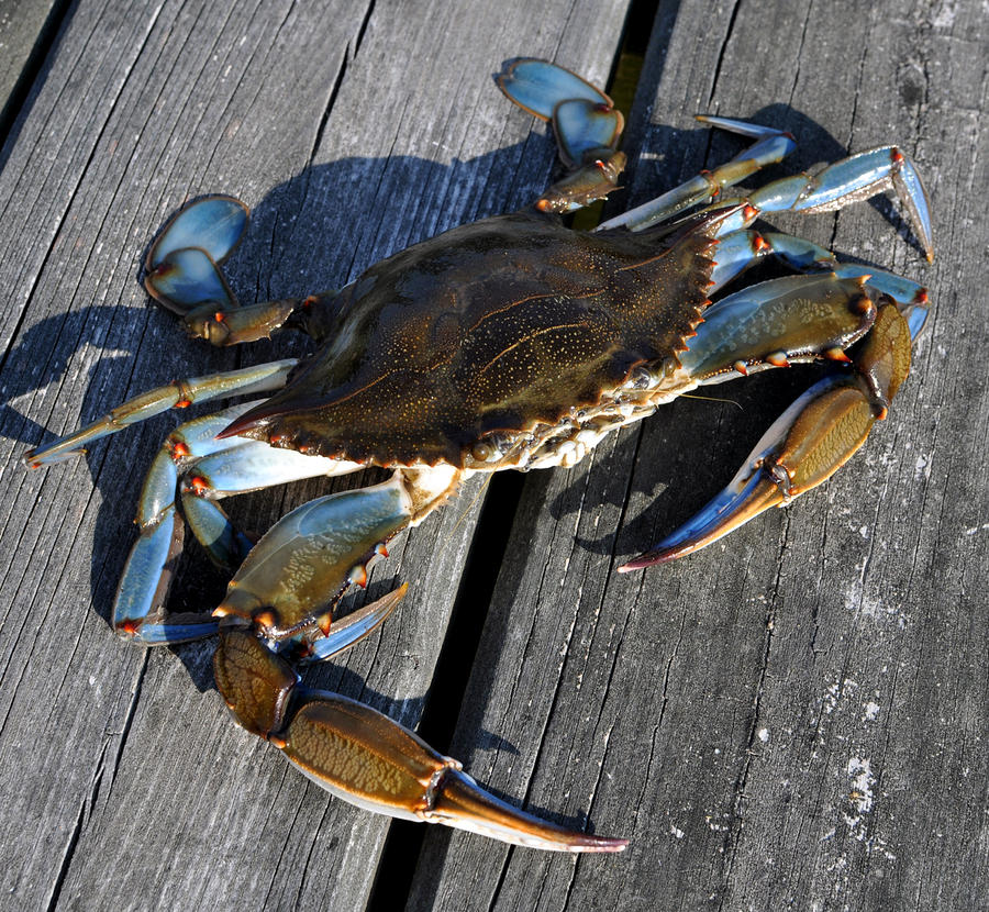 blue crab There's nothing like a bushel of blue crabs steamed with old bay seasoning or picked and lightly grilled in a crab cake generations of marylanders have loved their.