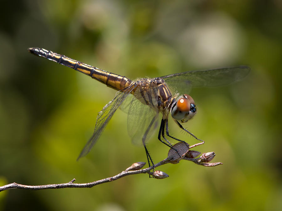 Blue Dasher Photograph  - Blue Dasher Fine Art Print