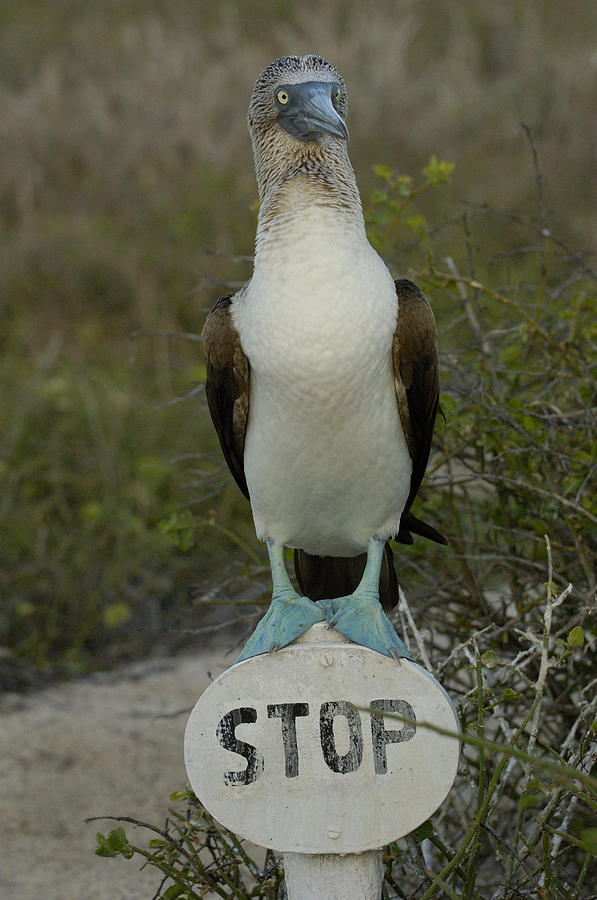 Blue-footed Booby Sula Nebouxii Photograph