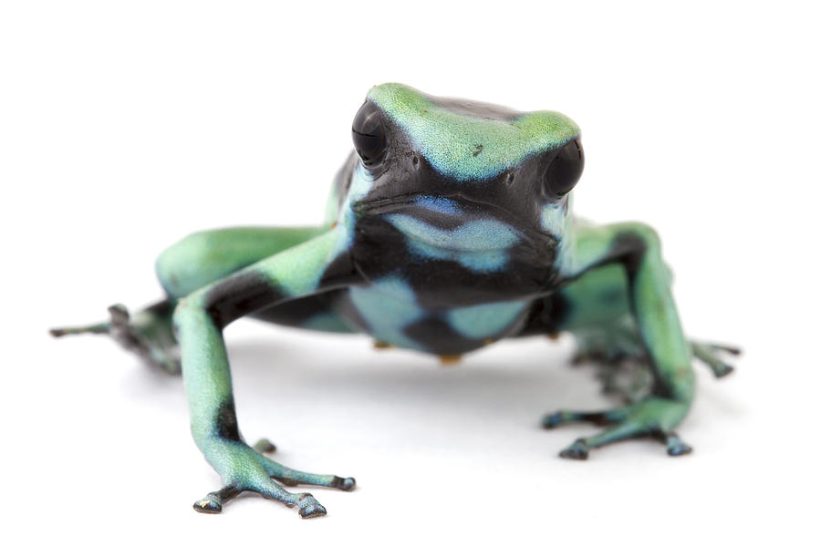 Blue Poison Dart Frog Barbilla Np Costa Photograph  - Blue Poison Dart Frog Barbilla Np Costa Fine Art Print