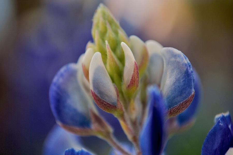 Bluebonnet Photograph