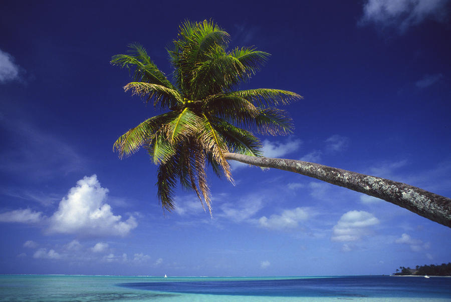 Bora Bora, Palm Tree Photograph