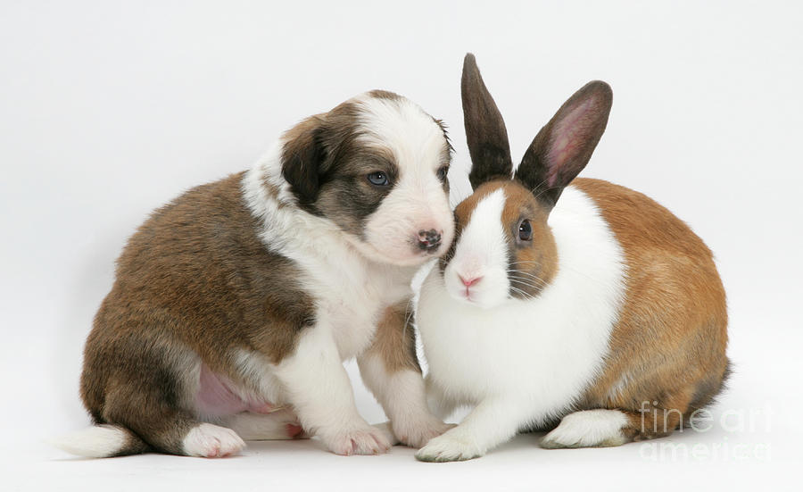 Border Collie Pup With Dutch Rabbit Photograph  - Border Collie Pup With Dutch Rabbit Fine Art Print