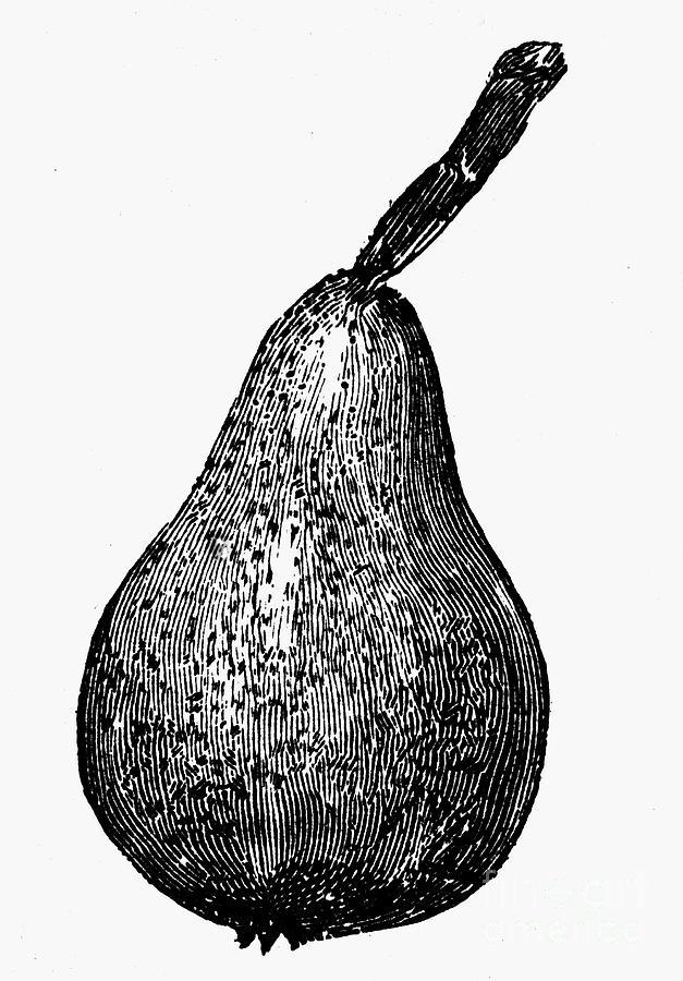 Botany: Pear Photograph
