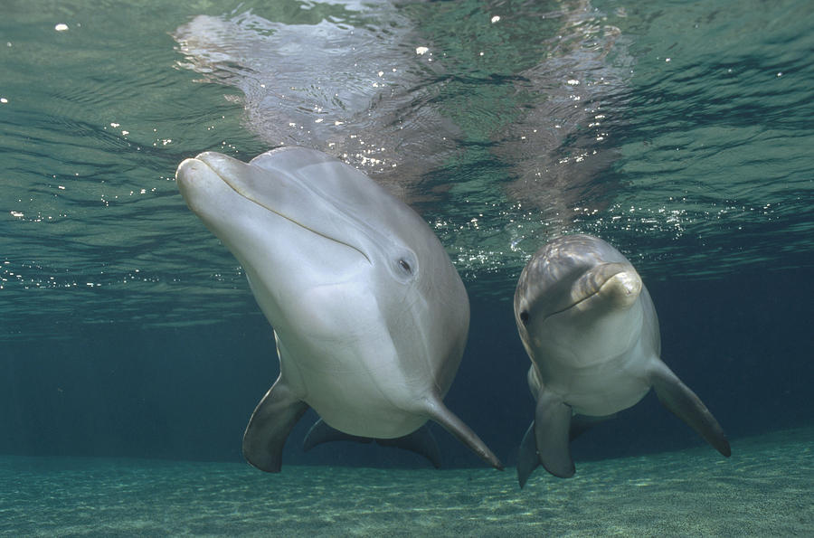 Bottlenose dolphins swimming underwater - photo#27