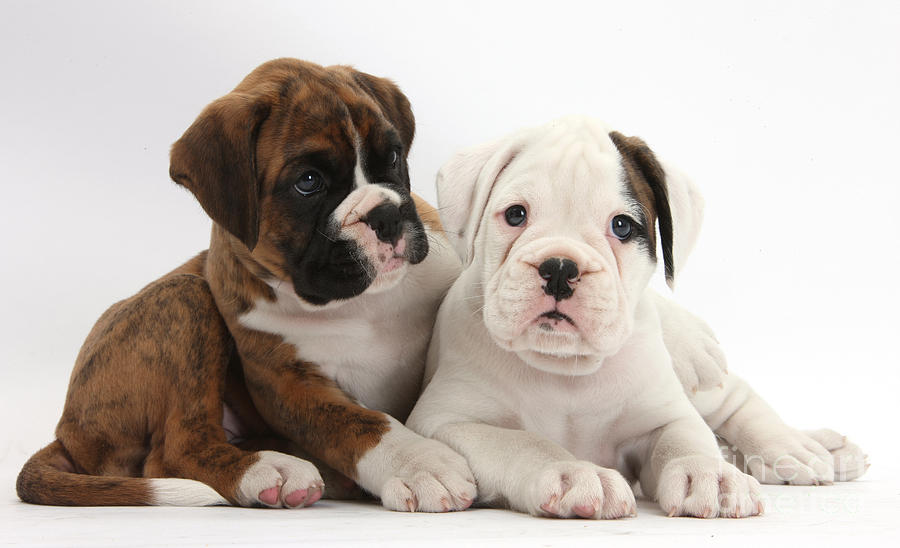 Boxer Puppies Photograph