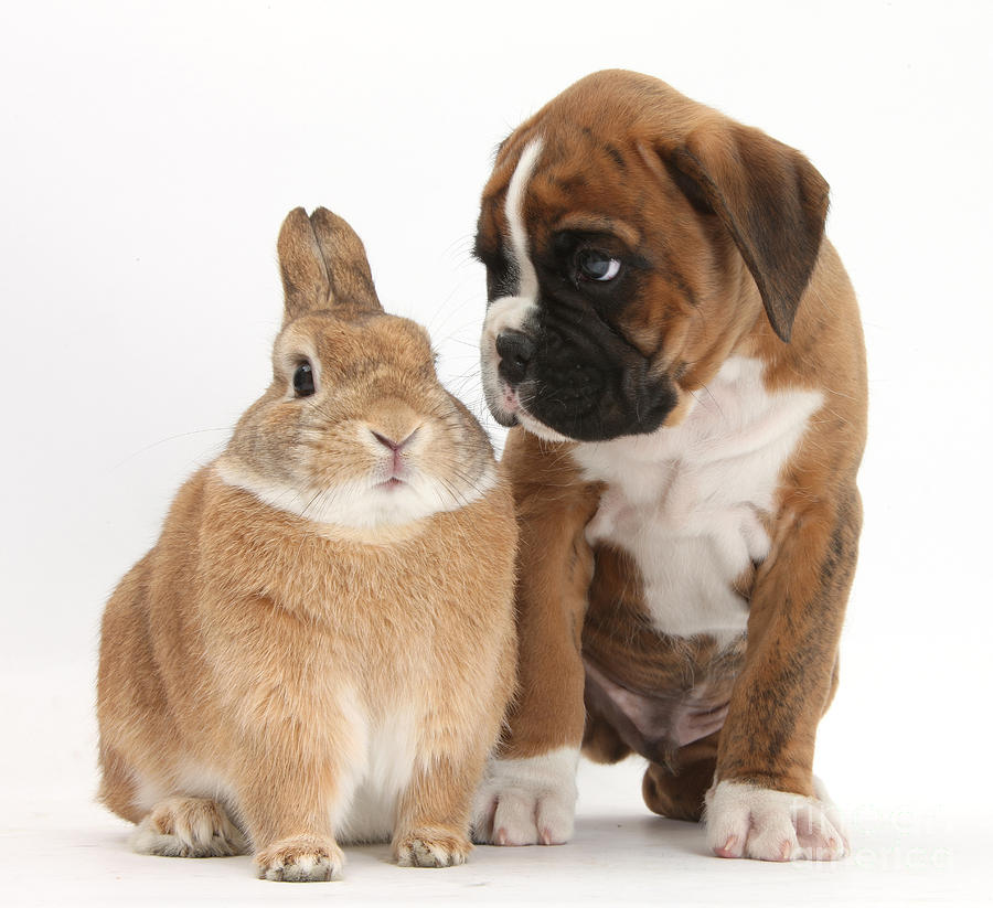 Boxer Puppy And Netherland-cross Rabbit Photograph  - Boxer Puppy And Netherland-cross Rabbit Fine Art Print