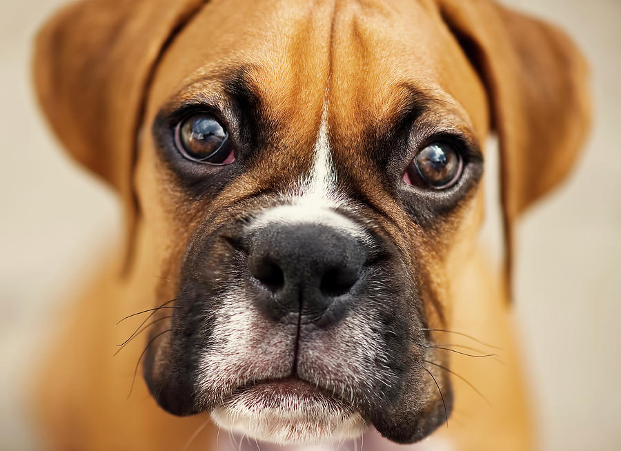 Horizontal Photograph - Boxer Puppy by Jody Trappe Photography