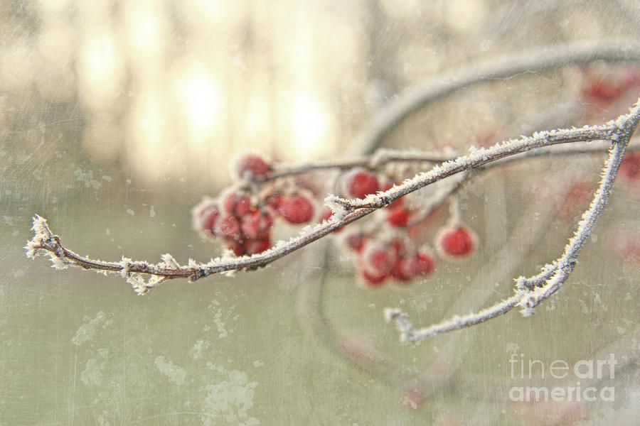 Branches With Early Winter Frost With Red Berries Photograph  - Branches With Early Winter Frost With Red Berries Fine Art Print