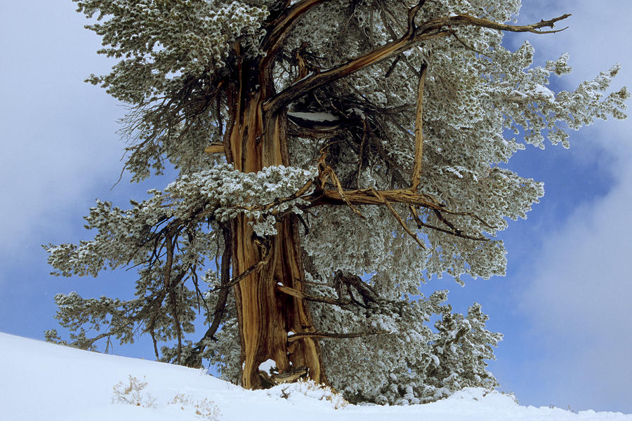 Bristlecone Pine Tree Blanketed In Snow Photograph
