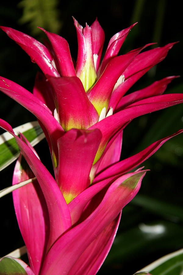 Bromelia Photograph  - Bromelia Fine Art Print