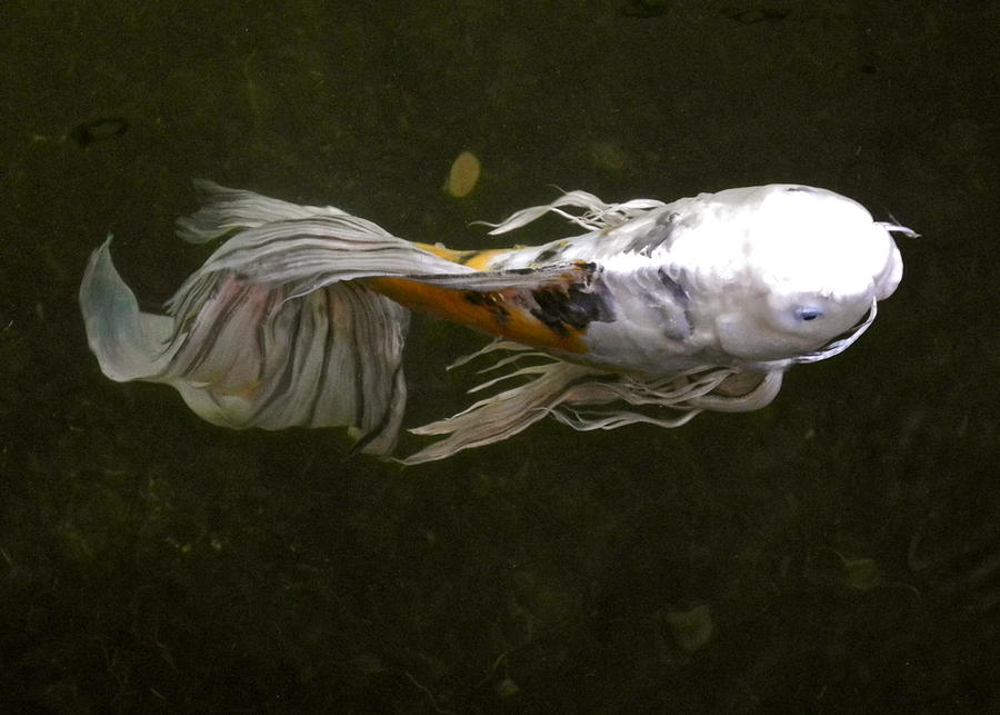Butterfly koi fish photograph by kirsten giving for White koi fish for sale