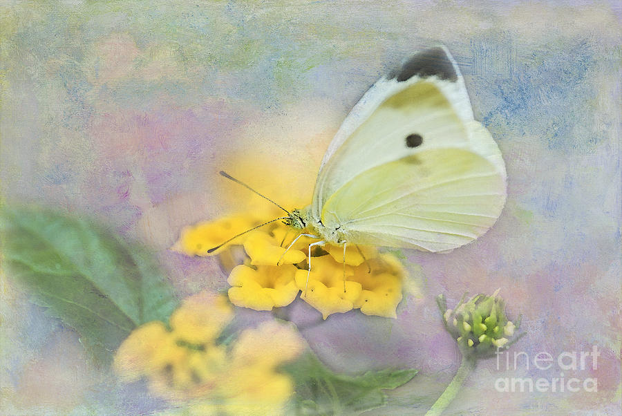 Cabbage White Butterfly Photograph  - Cabbage White Butterfly Fine Art Print