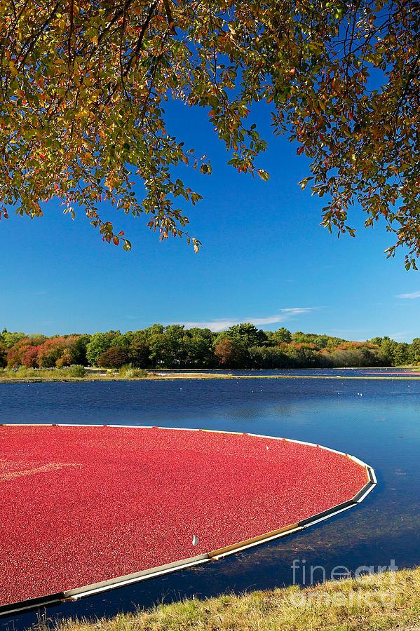 Cape Cod Cranberry Bog Photograph