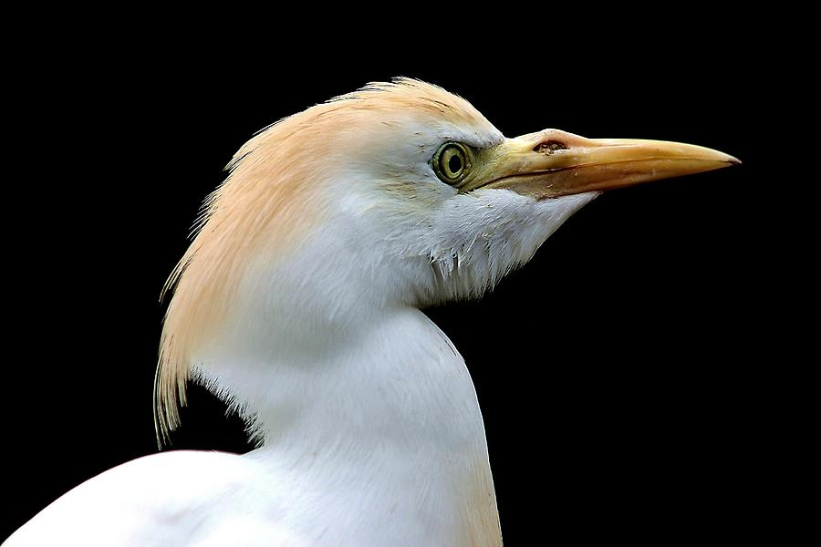 Cattle Egret Photograph