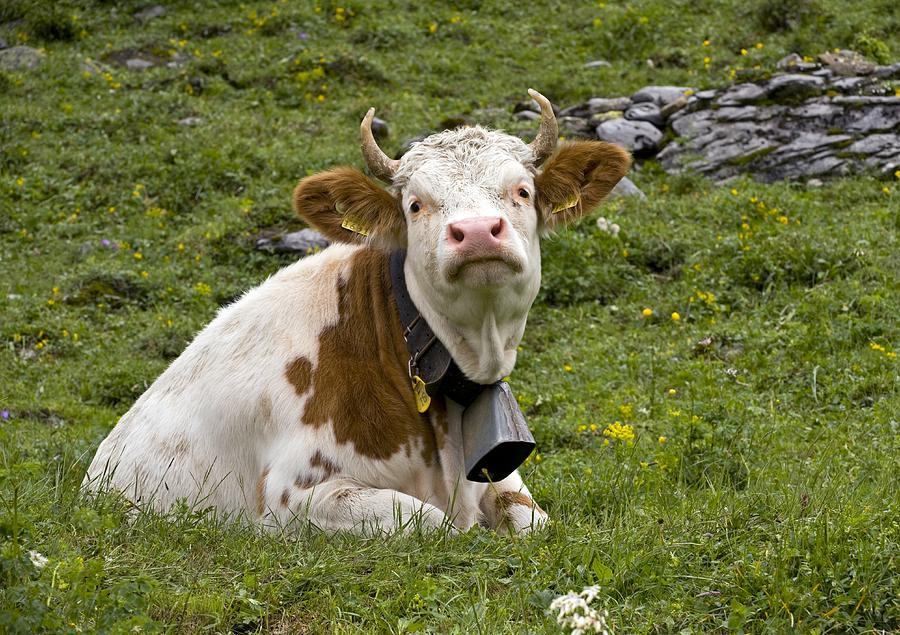 Cattle, Switzerland Photograph
