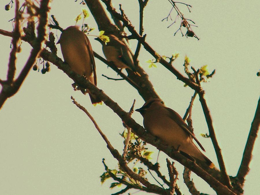 Cedar Waxing Photograph