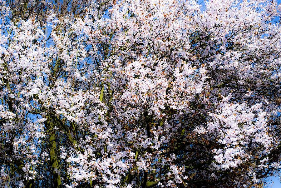 Cherry Blossom Tree Photograph