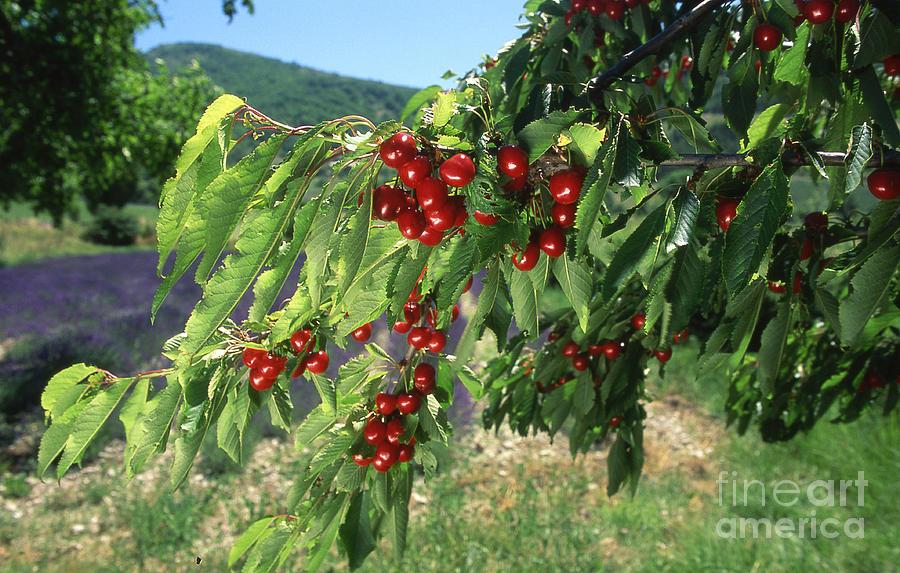 France Photograph - Cherry Tree by Bernard Jaubert