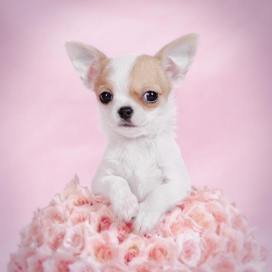 Chihuahua Puppy Portrait Photograph by Waldek Dabrowski