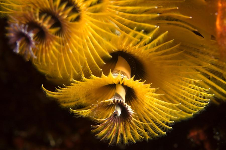 Kosrae Island Photograph - Christmas Tree Worms On The Ocean Floor by Tim Laman