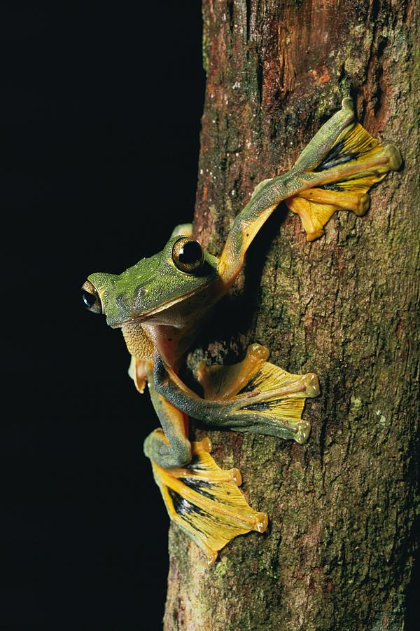Close View Of A Wallaces Flying Frog Photograph