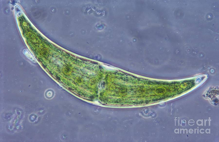 Closterium Sp. Algae Lm Photograph  - Closterium Sp. Algae Lm Fine Art Print