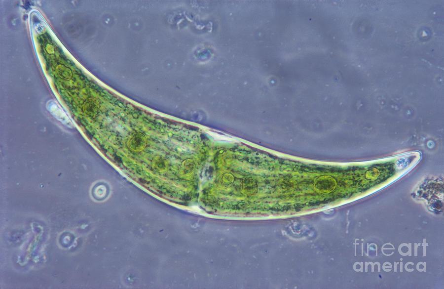 Closterium Sp. Algae Lm Photograph