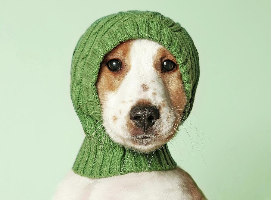 Cocker Spaniel Puppy Photograph