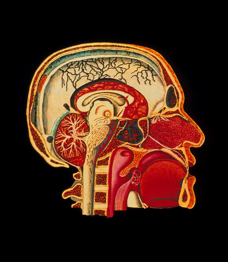 Coloured Illustration Of Sectioned Brain In Head Photograph
