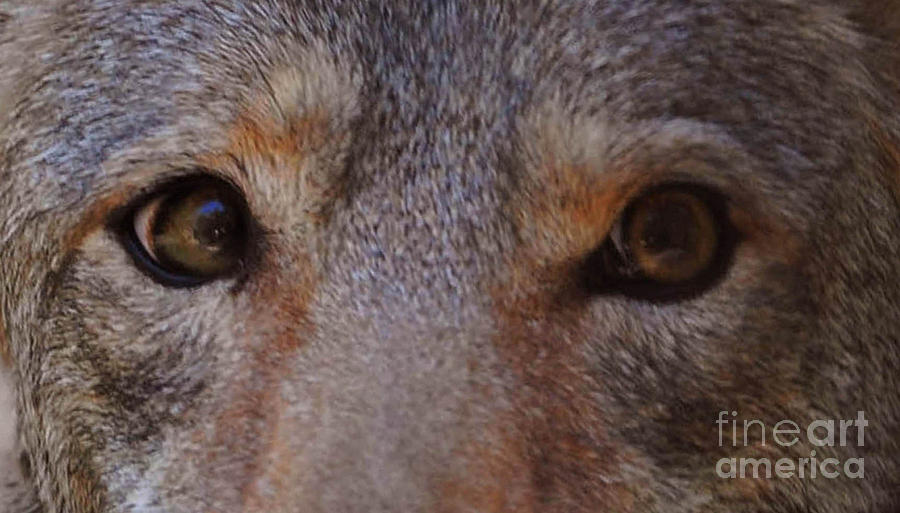 Coyote Photograph - Coyote Eyes by DiDi Higginbotham