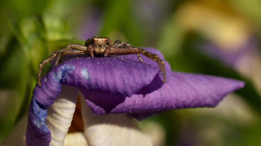 Crab Spider In A Violet Photograph  - Crab Spider In A Violet Fine Art Print