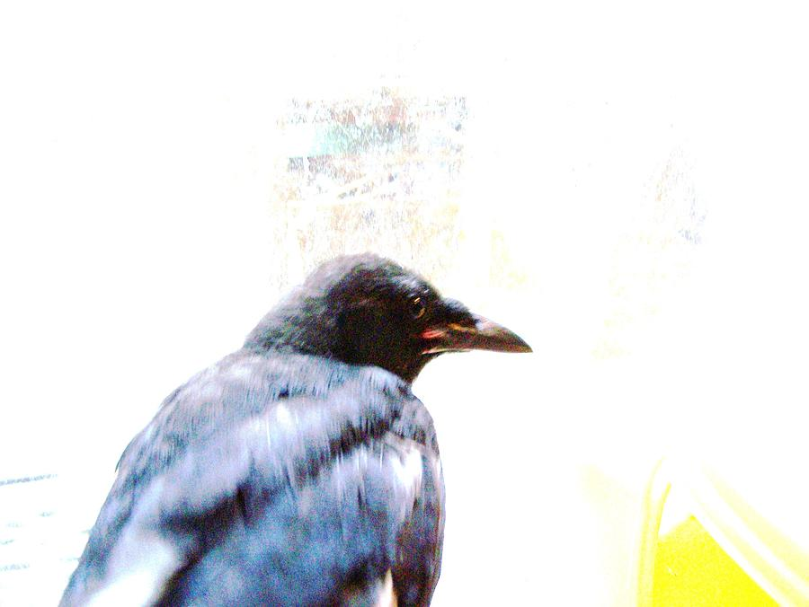 Crow Portrait Photograph