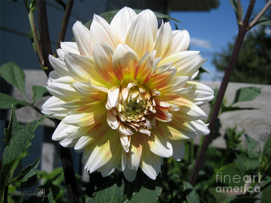Dahlia Named Peaches-n-cream Photograph