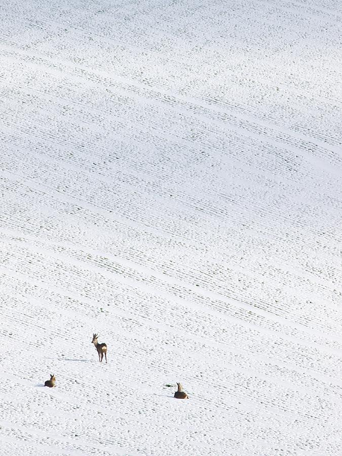 Deer In A Distant Snow Covered Field Photograph