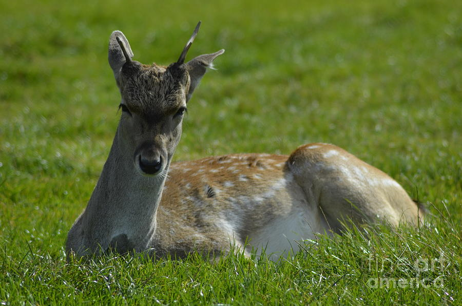 Deer Photograph  - Deer Fine Art Print