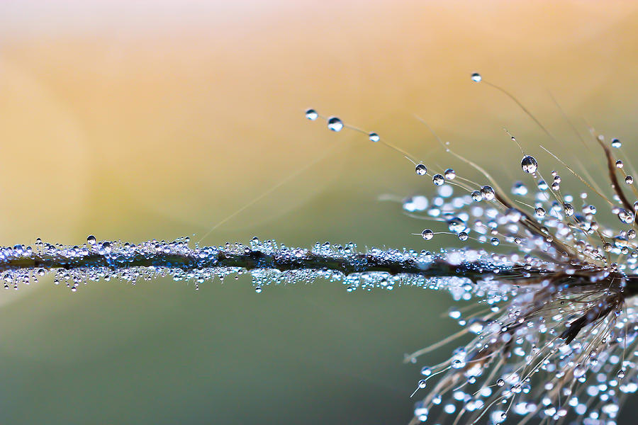 Dew Drops Photograph  - Dew Drops Fine Art Print