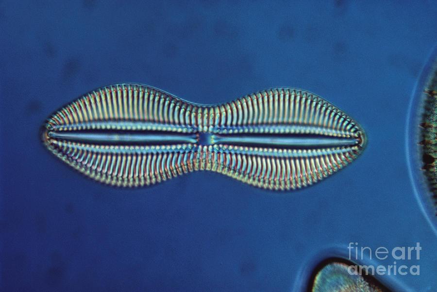 Diatom - Diploneis Crabro Photograph