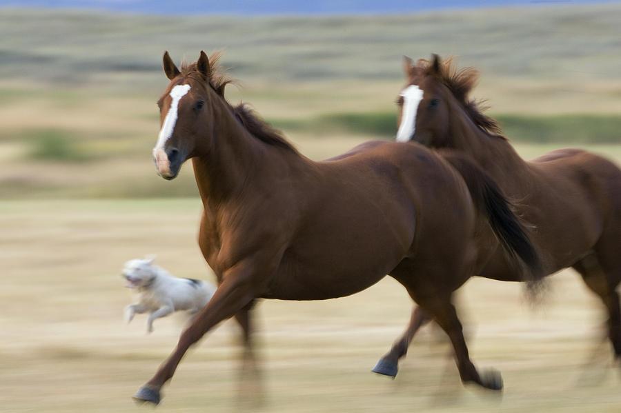 Domestic Horse Equus Caballus Pair is a photograph by Konrad Wothe ...