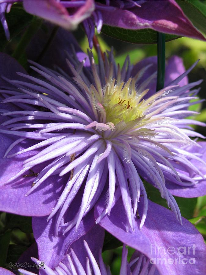 double clematis named crystal fountain photograph by j. Black Bedroom Furniture Sets. Home Design Ideas
