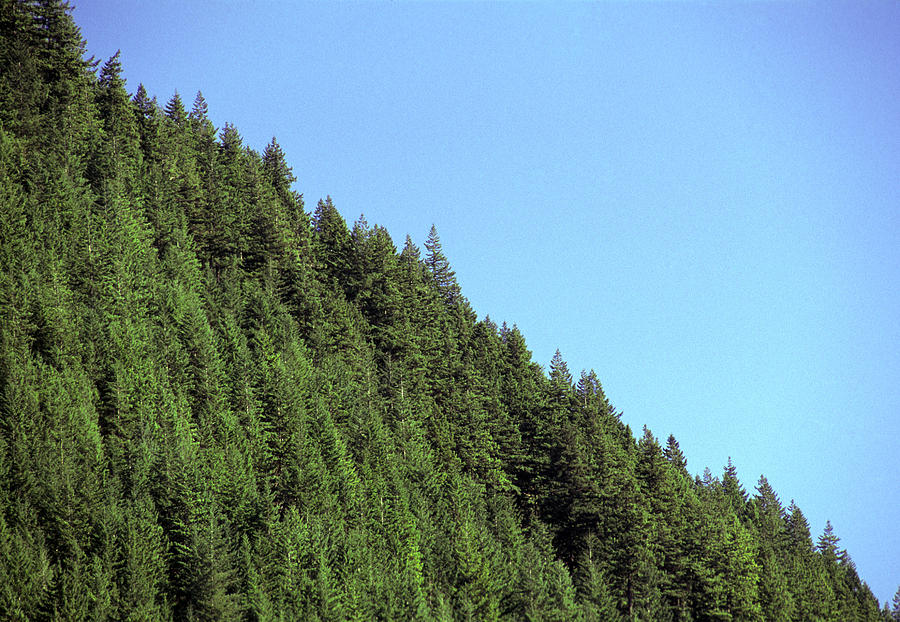 Douglas Fir Forest, British Columbia, Canada Photograph