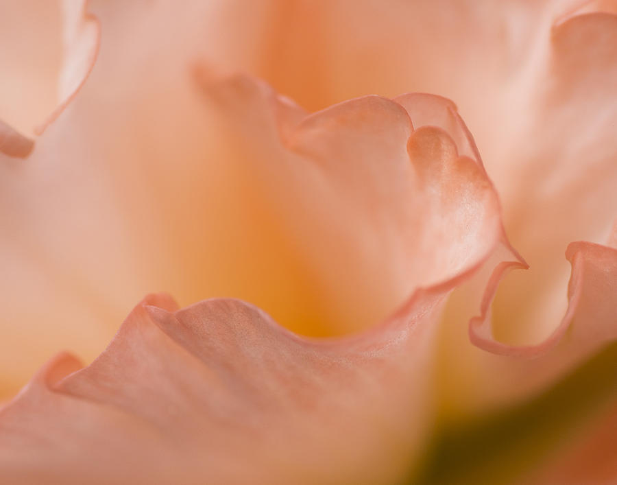 Dreaming In Peach Photograph  - Dreaming In Peach Fine Art Print