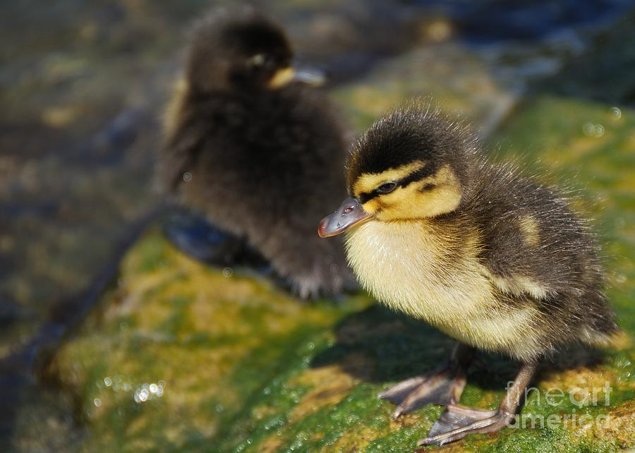 Duckling Photograph - Ducklings by Alan Clifford