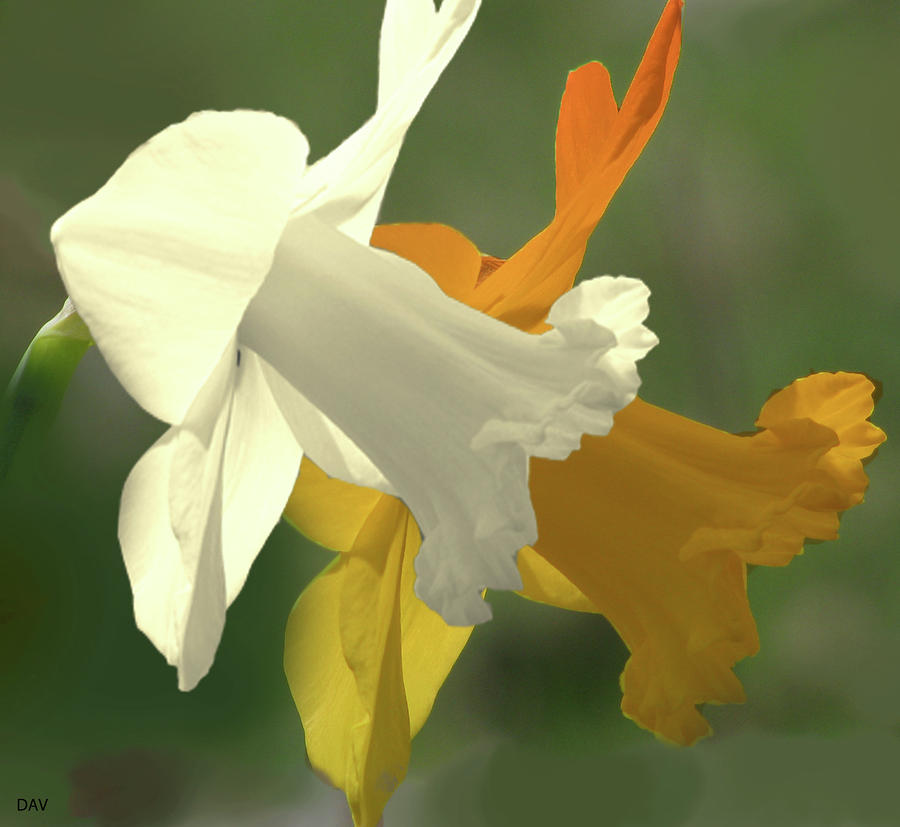 Duration Daffodil  Mixed Media  - Duration Daffodil  Fine Art Print