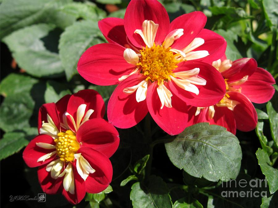 Dwarf Dahlia From The Collarette Dandy Mix Photograph By J