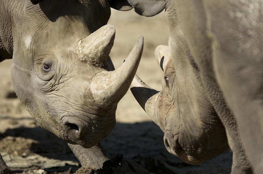 Eastern Black Rhinoceros Photograph